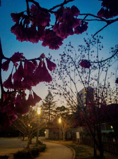 Spring Is In The Air Taiwan Cherry Way To Go Home Twilight Sky Tree Flower Plant