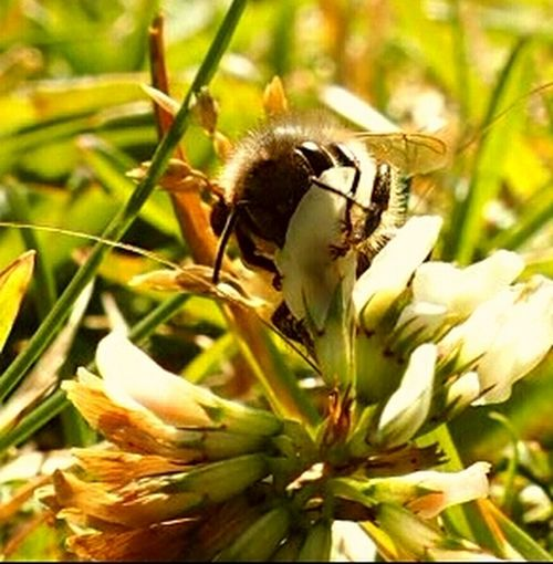 Nature Of Sweden Bumblebee On Flower Bumblebee Bumble Bee Bumble Bee Collecting Pollen Bumblebeesonflowers Olympus Pen Lite E-PL7 Nature Photography Eye4photography  Macro Nature Macro Beauty Eyeem Insects Eye4nature Nature Macro Sweden Macro_collection Macro Photography Macro Close Up Nature Insect Eyeem Insects Photography EyeEm Nature Lover Insects  White Flower White Flowers