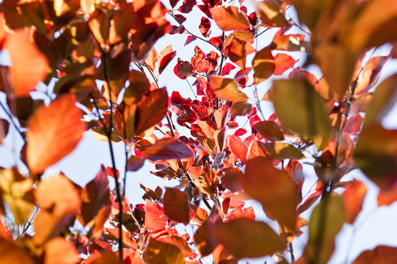 Blutbuchenzweig Global Warming Red Red Leaves Trees Autumn Autumn Collection Beauty In Nature Branch Change Close-up Day Environment Environmental Conservation Environmental Issues Fagus Fagus Sylvatica Pendula Focus On Foreground Growth Leaf Leaves Maple Leaf Natural Condition Nature No People Orange Color Outdoors Plant Plant Part Red Red Color Selective Focus Sunlight Tree The Still Life Photographer - 2018 EyeEm Awards