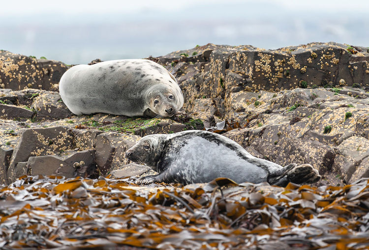 View of seal on rocks at beach