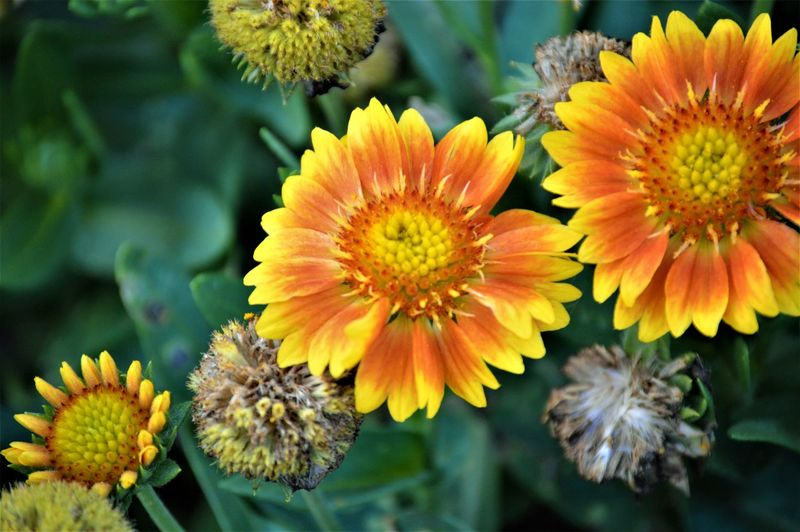 Daisy Like Flowers ~ Blanket Flowers ~ Gaillardia Blanket Flower Gaillardia Virginia Beach Beauty In Nature Close-up Daisy Like Day Flower Flower Head Flowering Plant Flowers Focus On Foreground Fragility Freshness Growth Inflorescence Nature No People Petal Plant Vulnerability  Yellow