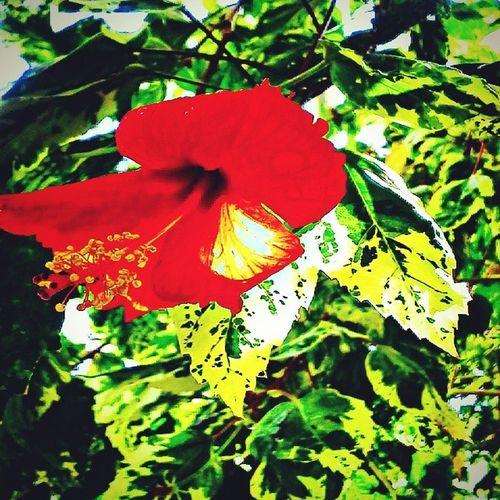 Scarlet Trumpet Flowers Leaves Belle_isle_conservatory
