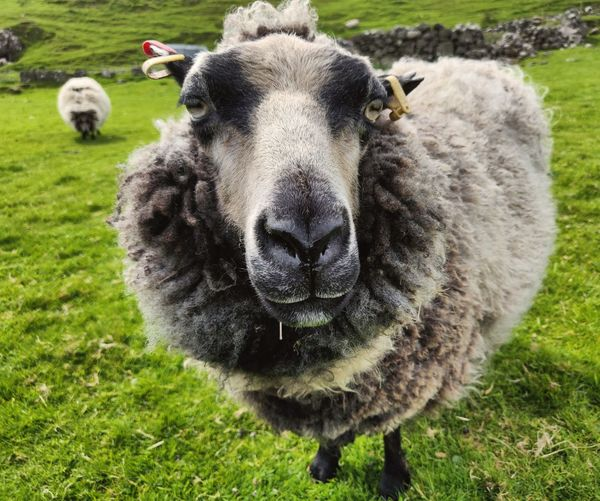 Portrait of sheep on grass looking straight at you with sheep in background