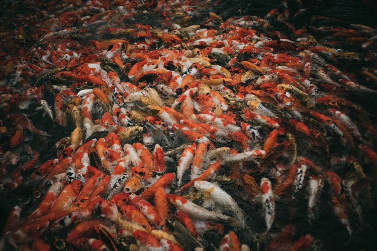 View of koi fish in sea