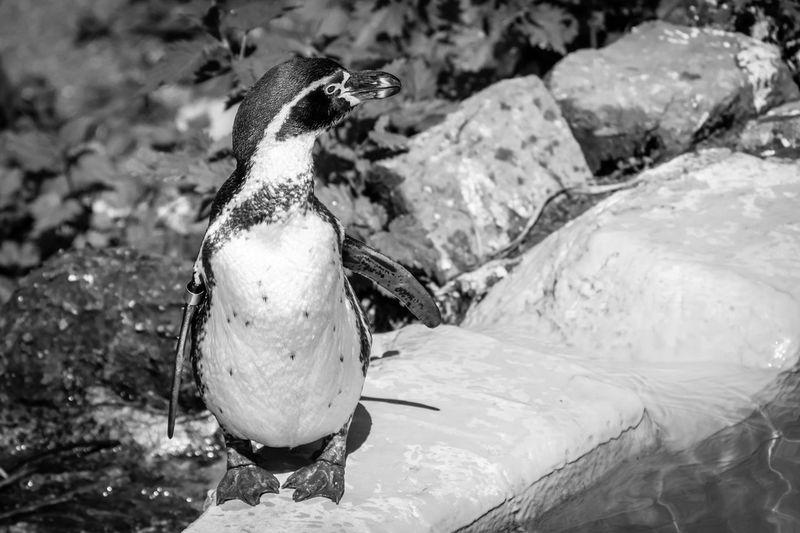 Close-up of penguins on rock