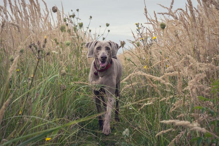 Portrait of weimaraner walking on grassy field