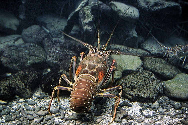 Lobster on the move Animal Themes Animals In The Wild Close-up Day Lobster Nature No People Outdoors Sea Sea Life UnderSea Underwater Water