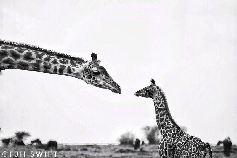 A mother and new born baby Giraffe in the Masai Mara . Animals In The Wild dKenya aSafari Animals sSafari iWild dConservation nGiraffe eNature eWildlife Photography yTravel Destinations The Week On EyeEm