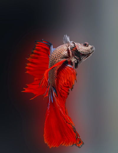 Siamese fighting fish,betta splendens,red fish on a blurred background, halfmoon betta,