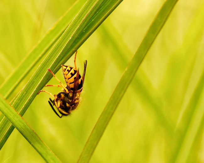Close-up of wasp on grass blades