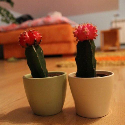 Madzia Má Nowe Kaktusy takie fajne kolorowe :>