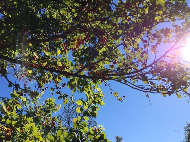 Tree Branch Low Angle View Leaf Growth Sunlight Clear Sky Beauty In Nature Sunbeam Nature Tranquility Day Scenics Sun Tranquil Scene Green Color Blue Flower Sunny Bright