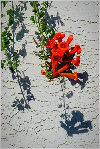 Trumpet Vine spills over a sound containment wall along Torrey Boulevard. Red Red Flowers Trumpet Vine Campsis Campsis Radicans Lookingup High Angle View Close-up Leaf Outdoors Bignoniaceae Curtain Walls Lessismore Minimalist Minimalobsession Minimalism This Week On Eyeem Eyeemphoto IPhoneography Malephotographerofthemonth Wildflowers Branch wildflowe s The Street Photographer - 2017 EyeEm Awards