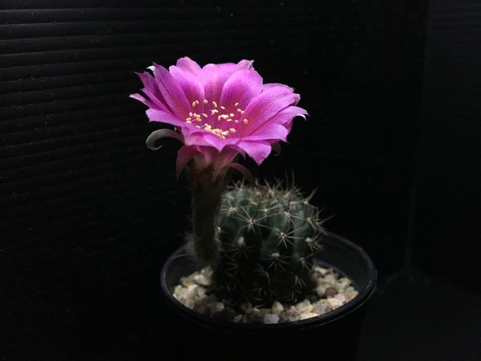Close-up of pink cactus flower in pot