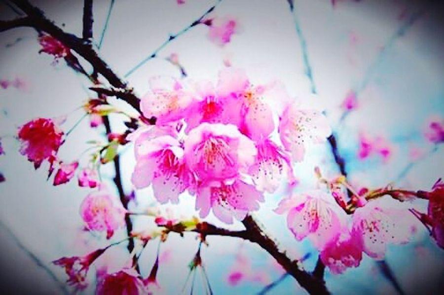 Sakura in Thailand. 🌼💝 Flowers Flowerporn Pink Flower Flower Collection Naturelovers Nature_collection Eyeem Nice Shots