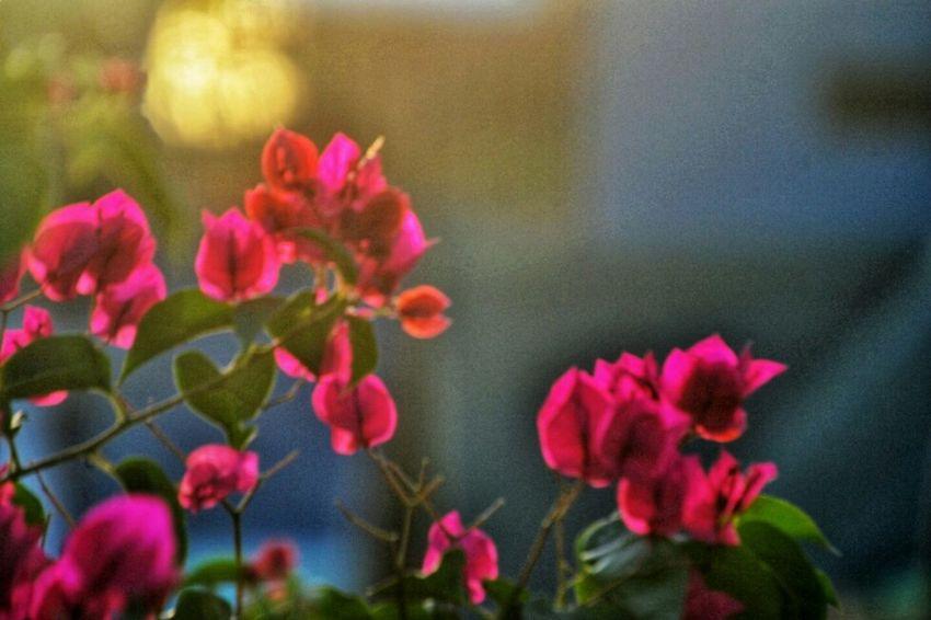 Flora Growth Flower Pink Backlit Bloom Floral Sunlit Glow Day Close-up