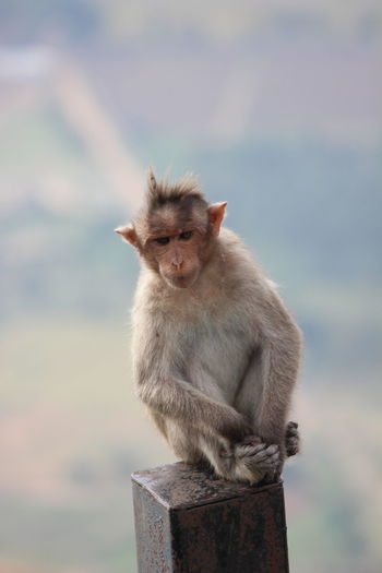 Portrait of monkey sitting outdoors