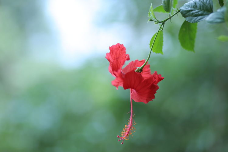 Single Red Hibiscus flower on plant. Flower Single Flower Nature Natural Ayurvedic Plants Ayurvedic Red Leaves Copy Space Landscape Format Green Greenish Beauty In Nature