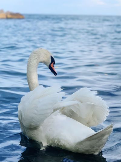 Swan floating on sea