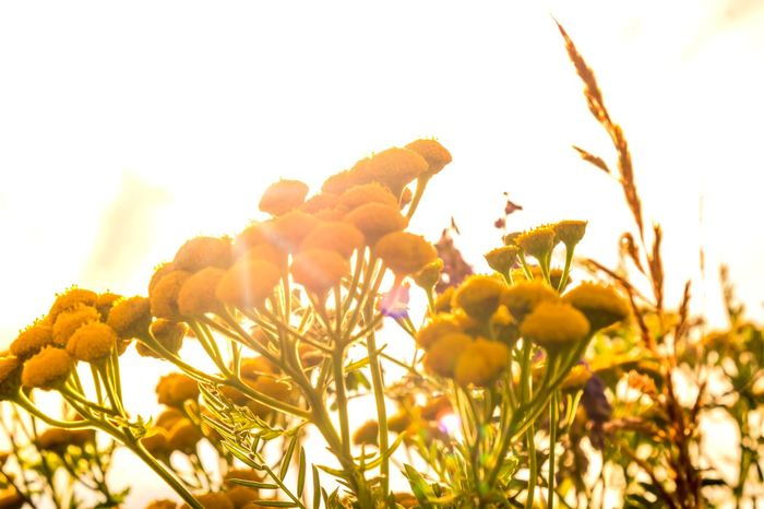 Copy Space Sunlight Wildflower Back Lit Beauty In Nature Brightly Lit Day Flower Flower Head Freshness Growth Herbal Medicine Leaf Lens Flare Nature No People Outdoors Plant Rainfarn Sky Summer Sunbeam Sunlight Sunset Yellow