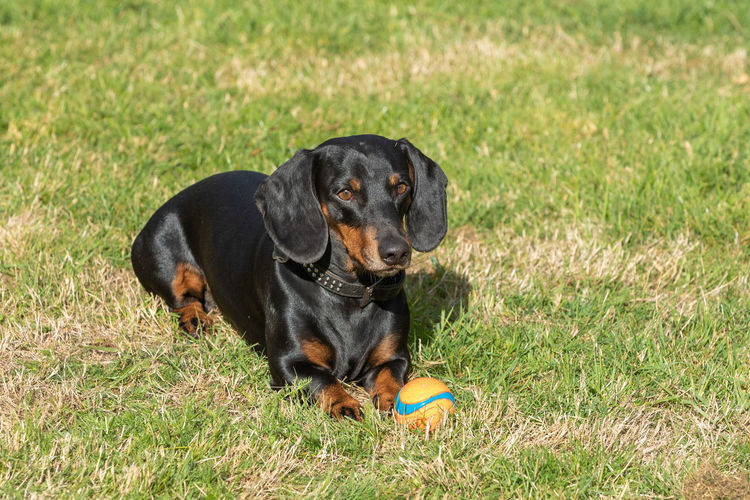 Dog Dachshund Brown Black Sweet Lawn Outside Sun Sitting Dogs Lying Playing Running Jumping Pet Friendship Hunting Ball Nature Young Animal Walking Green Active Movement