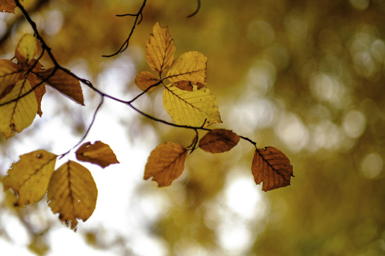 Fall full throttle. Autumn Beauty In Nature Bokeh Branch Branches Change Close-up Day Depth Of Field Growth Leaf Leaves Light Low Angle View Nature No People Outdoors Plant Tree