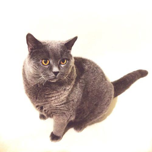 Коты котэ кот британцы Britishcats Britishcat