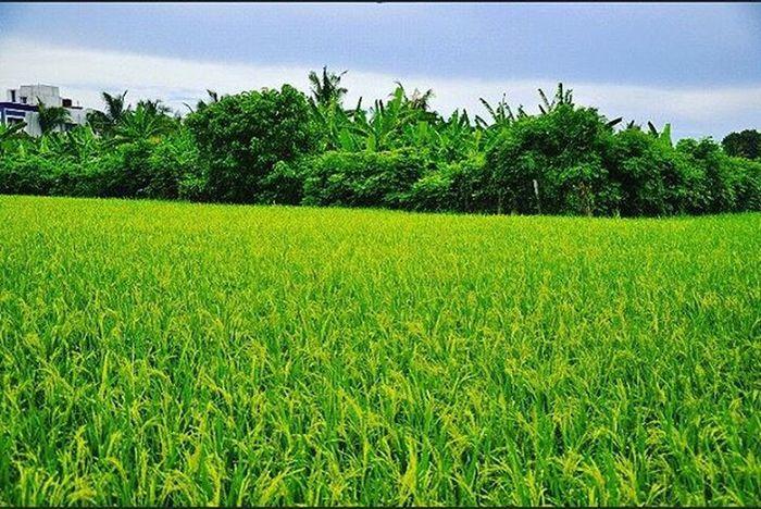 Sushamita MyClick Nature Natural Photographs Photographers Clicks Green Greenary Blue Sky Trees Fauna Naturephotography Outdoorphotography Outdoor India Farming Chennai LoveNature
