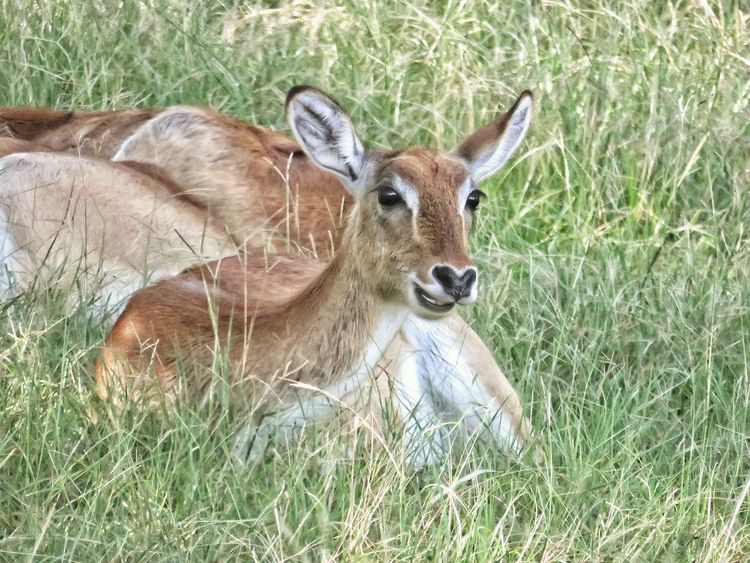 Doe in the grass EyeEm Nature Lover Field High Angle View Grass Close-up Deer Herbivorous Animal Markings Grazing Fawn