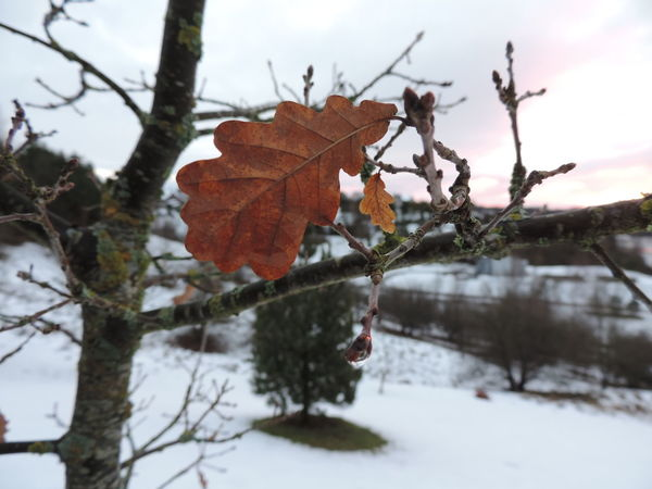 Dark First Snow Morning Nature Winter Close Up Day Leaf Macro Nature No People Oak Outdoors Sky Snow
