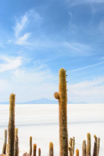 Cactus Desert Salt Uyuni Salt Flat Uyuni, Bolivia Blue Day Landscape Nature No People Outdoors Sky Tranquility Fresh On Market 2017 The Traveler - 2018 EyeEm Awards