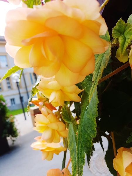 Flower Nature Freshness No People Close-up Flower Head Fragility Beauty In Nature Plant Day Outdoors Begonia Flower Yellow