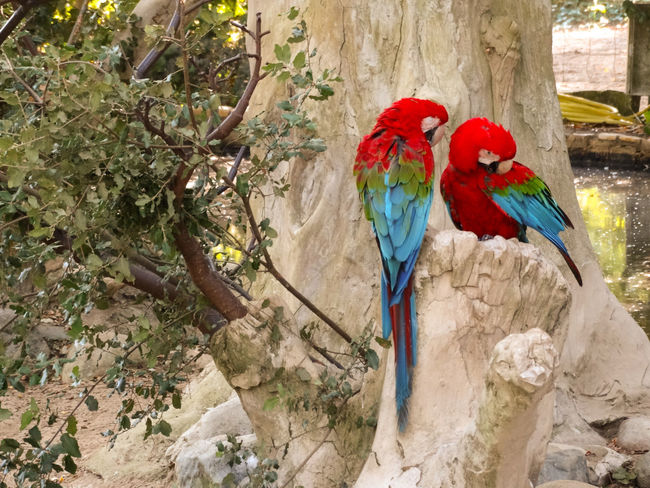 Parrot Love Animal Animal Themes Animal Wildlife Animals In The Wild Bird Branch Day Group Of Animals La Palmyre Macaw Multi Colored Nature No People Outdoors Parrot Parrot Bird Parrots Perching Plant Red Scarlet Macaw Tree Two Animals Vertebrate