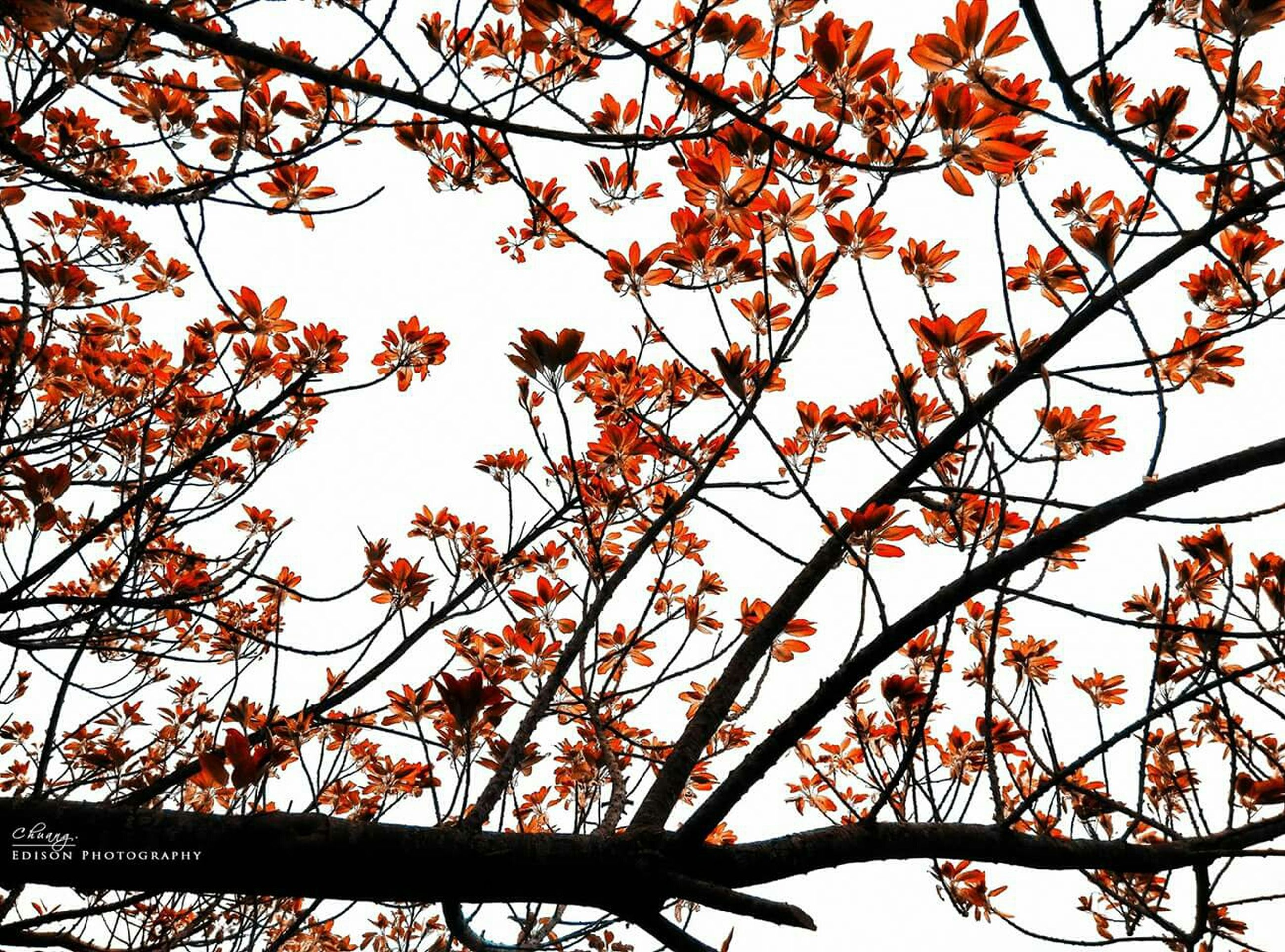 branch, tree, low angle view, growth, clear sky, nature, autumn, beauty in nature, leaf, orange color, change, season, sky, sunlight, outdoors, day, no people, tranquility, twig, flower