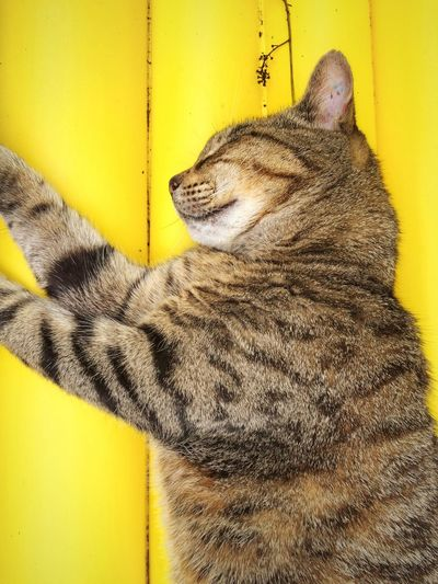 Directly Above Shot Of Cat Sleeping On Yellow Table