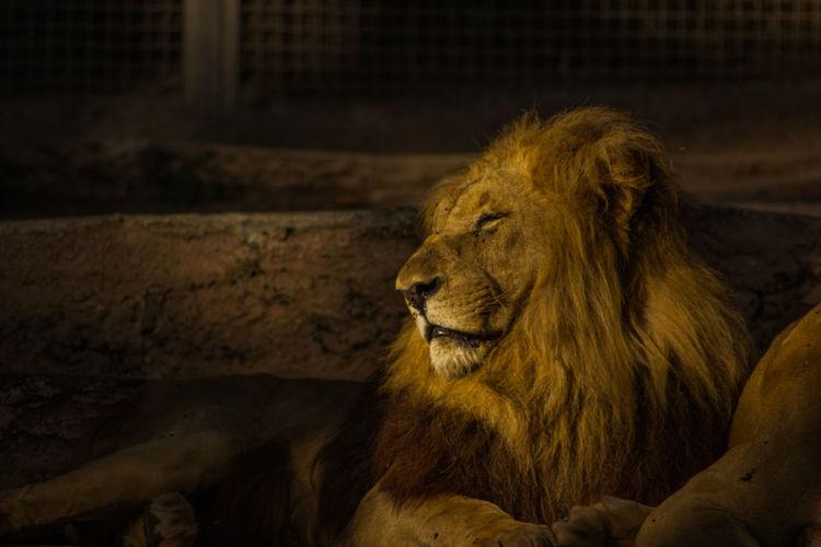 Lion Barcelona Zoo Wildlife Lion