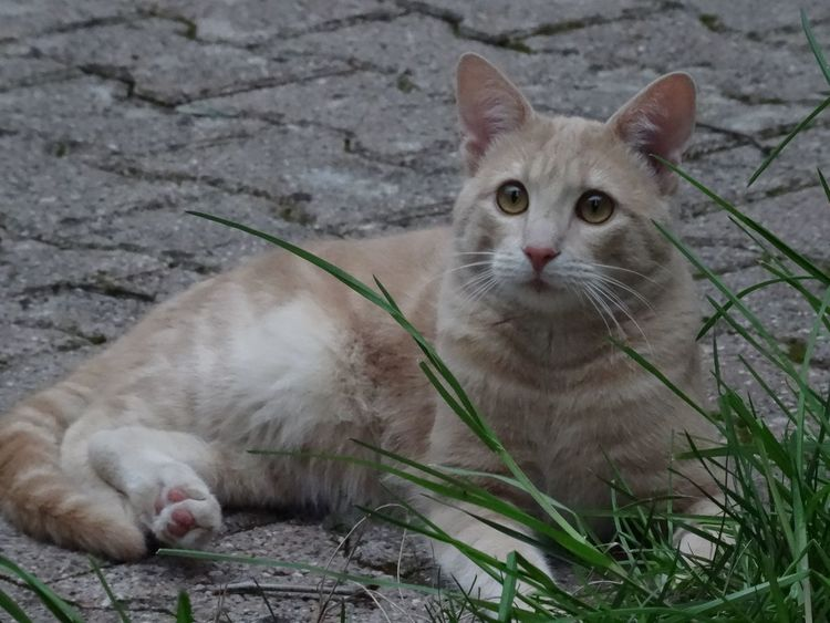 Cat Simba ❤ Grass Dark Evening Light Garden Love Eyes Big Eyes Ears Domestic Cat Looking At Camera Pets Portrait Mammal Feline Domestic Animals Animal Themes Animal One Animal Outdoors No People Young Animal Day Close-up Nature