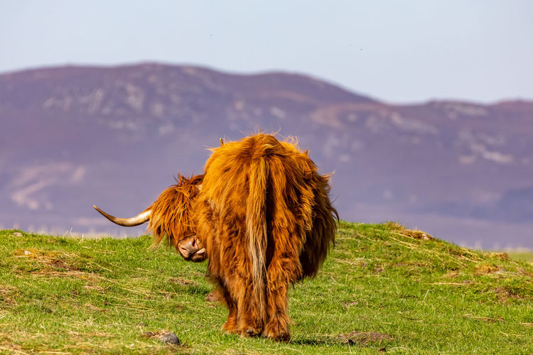 Hochlandrind bei der Fellpflege, Highland cattle while grooming Highland Cattle Canon Canonphotography Canon_photos Color Colorful Nature Nature_collection Nature Photography Animal Sky And Clouds Clouds Landscape_photography Landscape Photography Canon5Dmk4 EyeEm Best Shots Eye4photography  British Culture Mountain Sky Grass Landscape My Best Photo
