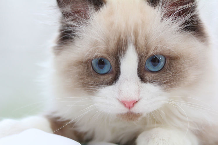Close-up portrait of ragdoll cat