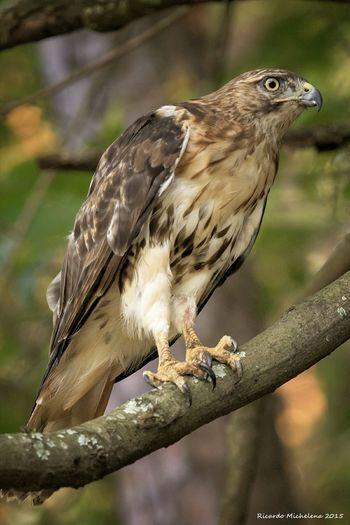 Hawk Birds Nature Animals Cute Hiking Trail KennesawMountain