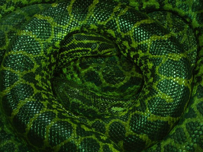 Snake Anaconda Animal & Animal Dangerous Reptile Pets Corner Textures And Surfaces Maximum Closeness EyeEm Best Shots Hide And Seek Abstract Dangerous Beings Green Green Green!  Muster Mix Animals Fine Art Backgrounds Still Life EyeEm Masterclass Look Inside This... Lines, Colors & Textures Snake Skin Flyfish Album A Moment Of Zen... Stillness In Time