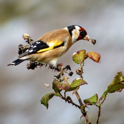 Goldfinch spotted on our Southdowns photography walk, with @themarkfenner Nature Photography Uknaturecollective Nature Wild Followme Ig_birdlovers Ig_birdwatchers Nuts_about_birds Wildlife Nature England Rsa_nature Ukwildlifeimages Springwatch Naturehippys @sussexwildlifetrust
