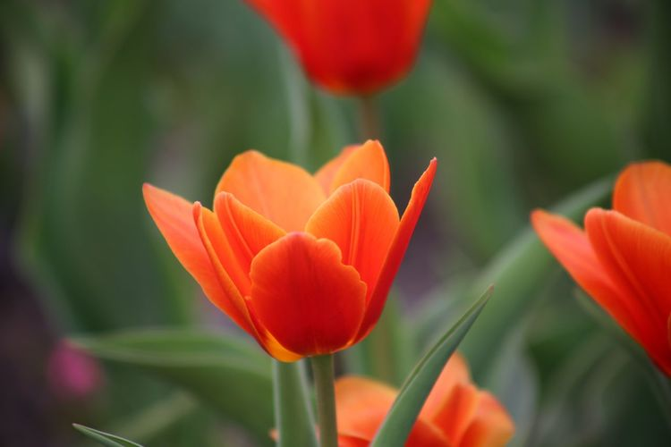 Spring Spring Flowers Landscape Fragility Zen Spa Tulips Tulips🌷 Red Color Growth Freshness Beauty In Nature Red Tulips Flower Bed Nature Tulipa Kaufmanniana Valentine's Day  Valentine's Day  Love Symbol Springtime Flower Present Branch Tulipano Rosso Delicate Flowers