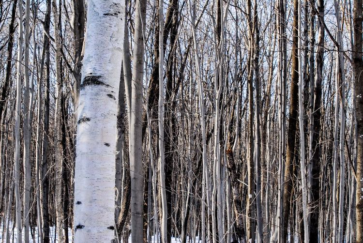 Walking in the woods Tree Trunk Tree Trunk Forest Land Plant Tranquility Nature Day No People Beauty In Nature Cold Temperature Winter Snow WoodLand Tranquil Scene Growth Outdoors Scenics - Nature