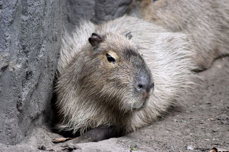 Animal Animal Head  Animal Themes Animals Animals In The Wild Capibara Close-up Day Eye4nature Eye4photography  Focus On Foreground Fur Little Ball Of Fur Mammal Nature Portrait Whisker Color Palette