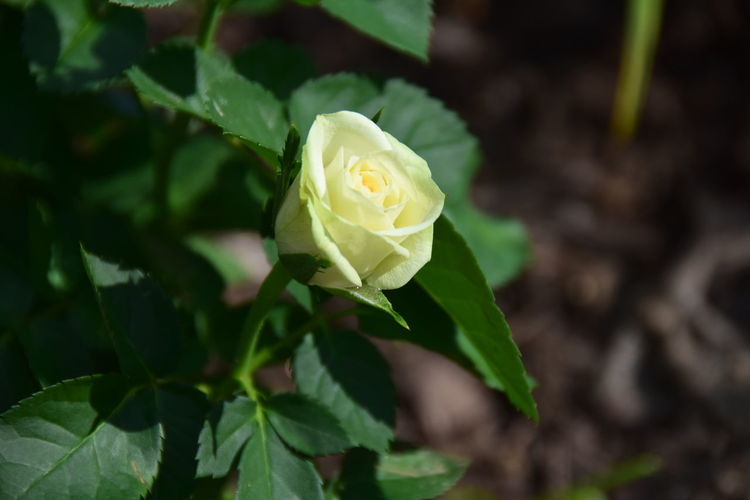 Nature Photography No People Close Up Photography Close Up White Rose Buds White Rose Close Up Single White Rose Flower Head Flower Leaf Rose - Flower Petal Close-up Plant Green Color Botanical Garden In Bloom Flowering Plant Plant Part Blooming Plant Life Blossom Bud