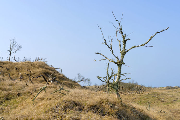 """National park """"Thy"""" in Denmark. Bare Tree Beauty In Nature Blue Branch Clear Sky Day Denmark Dunes EyeEm Best Shots - Nature Grass Landscape Lone National Park Nationalpark Thy Nature Nature Nature Collection Nature Photography Nature_collection No People Outdoors Sky Tranquility Tree Tree Trunk"""