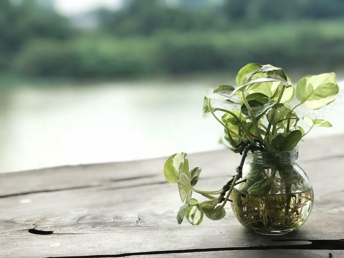 Plant Focus On Foreground Nature Leaf Plant Part Table Close-up Outdoors Day Sunlight Wood - Material Green Color Freshness Glass - Material Still Life Potted Plant No People Beauty In Nature Shadow Growth