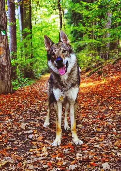 Wolfdogs My Pets