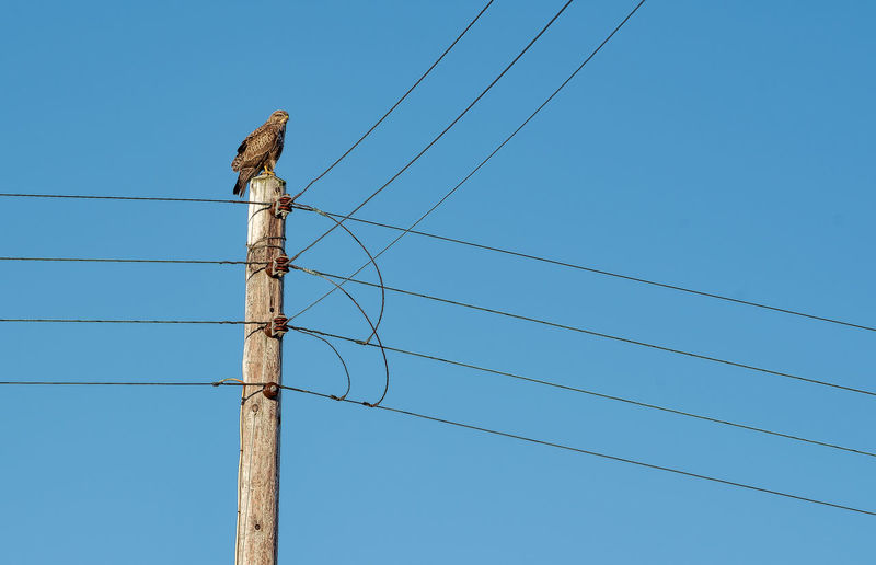 Buzzards 'close' call Telephone Line Remote Telephone Cables Raptor Rough-legged Buzzard Animal Themes Animals In The Wild Bird Blue Cable Clear Sky Connection Day Electricity  Electricity Pylon Fuel And Power Generation Low Angle View Nature No People Outdoors Perching Power Line  Power Supply Sky Technology Telephone Line Power Line  Electricity  One Animal